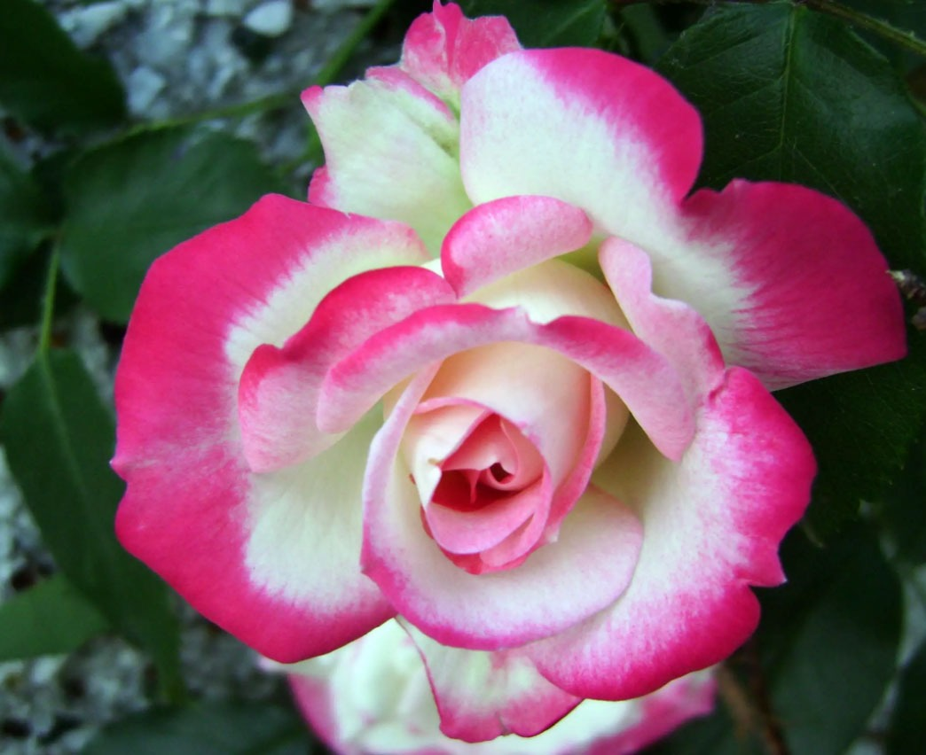 گل رز گیلاسی
