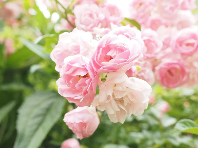 گل رز بونیکا
