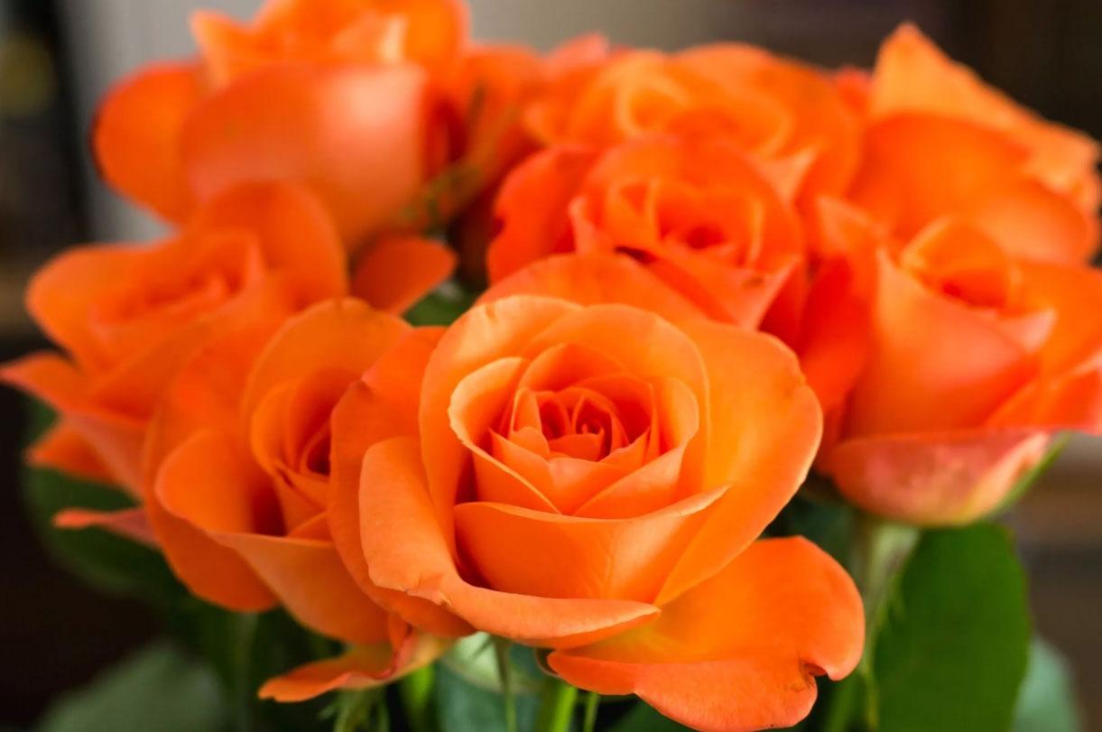 رز گرندیفلورا | رز نارنجی