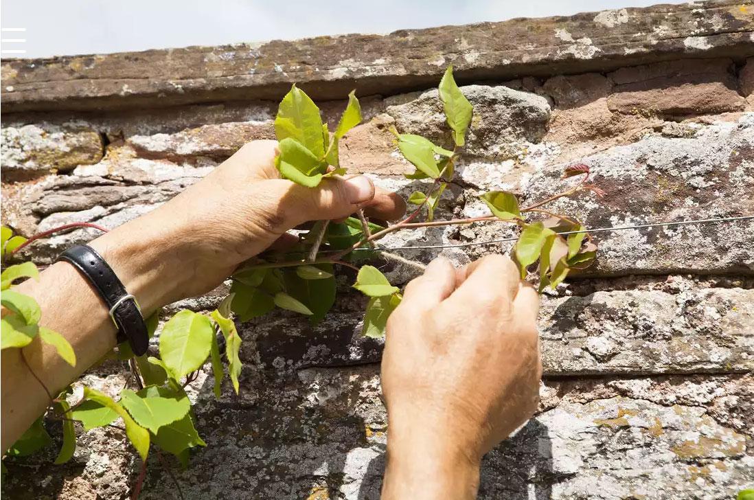 پرورش و نگهداری گل رز