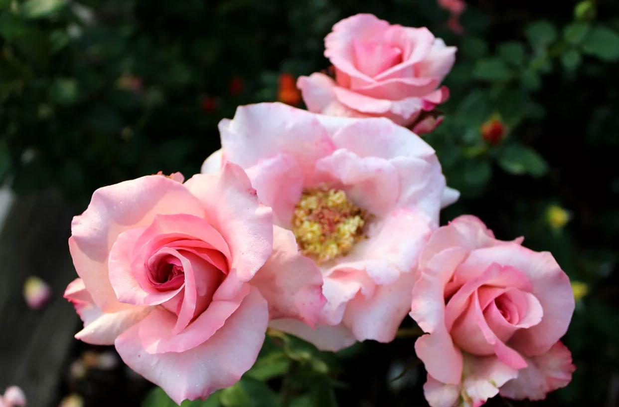 گل رز آلی