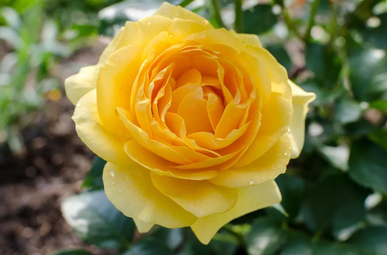 گلهای جولیا