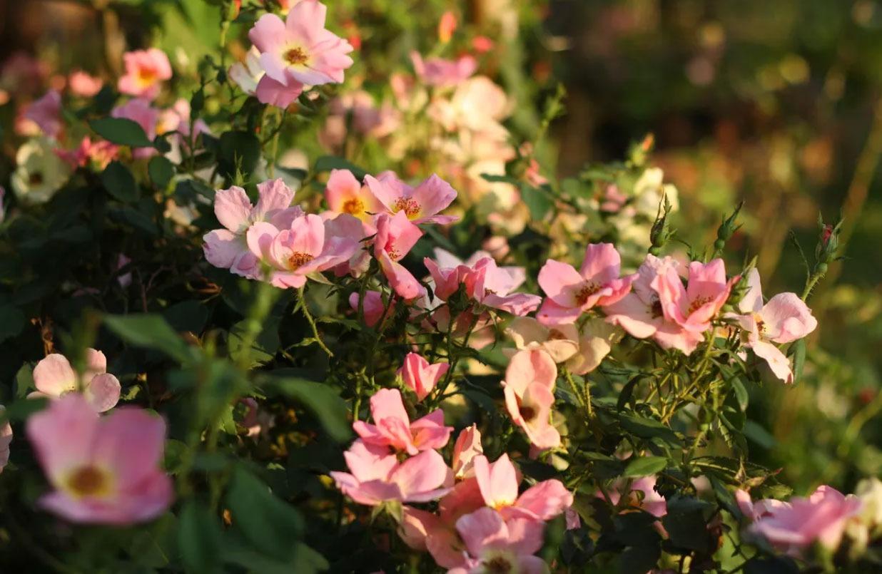 گل رز رنگین کمانی