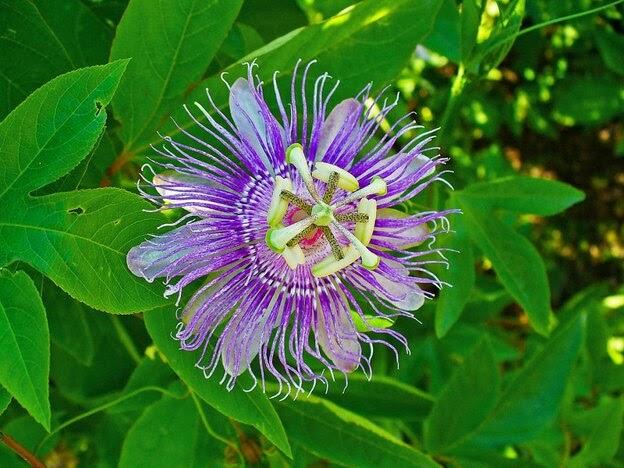 گل ساعتی (passiflora)