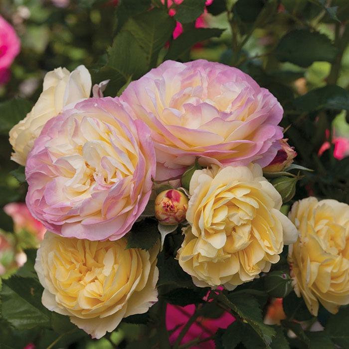 گل رز فلوریبوندا (Floribunda Roses)