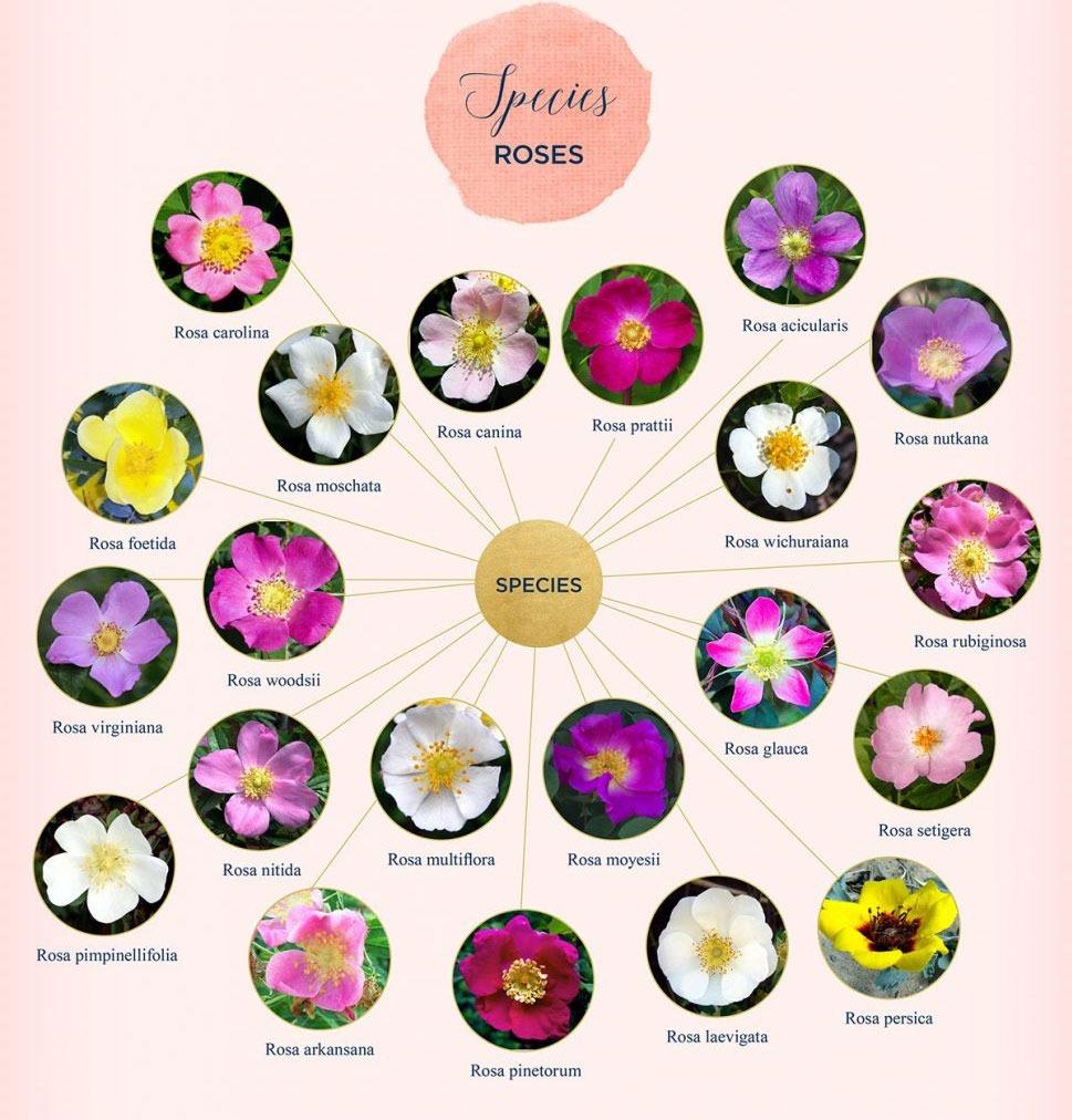 رنگ گلهای رز