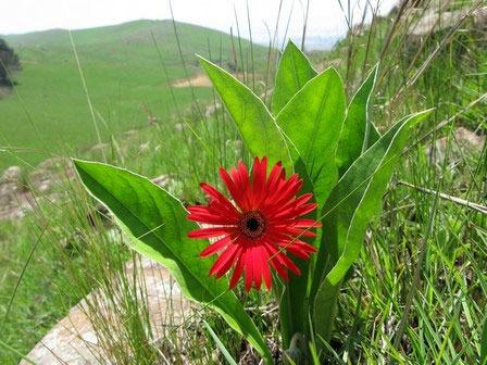 گل ژبرا