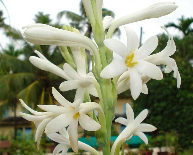 گل مریم Varigated