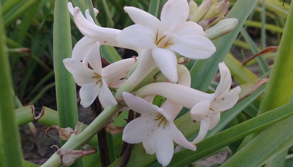 گل مریم Nirantara