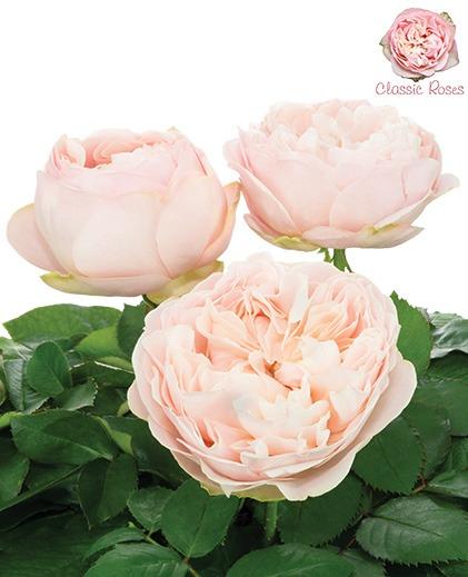 گل رز ( Grandiflora Roses)