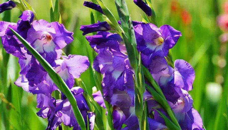 راهنمای نگهداری گل زیبای گلایل