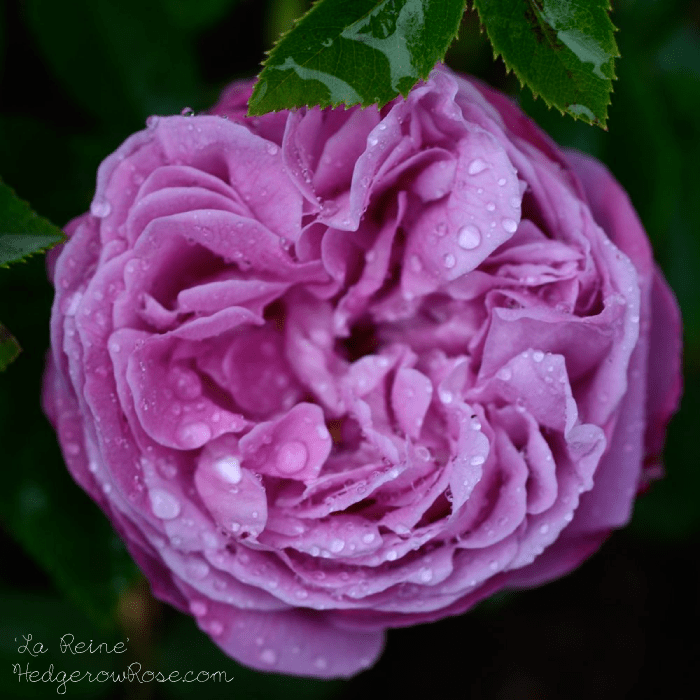 گل رز های هیبریدی ( Hybrid Perpetuals )