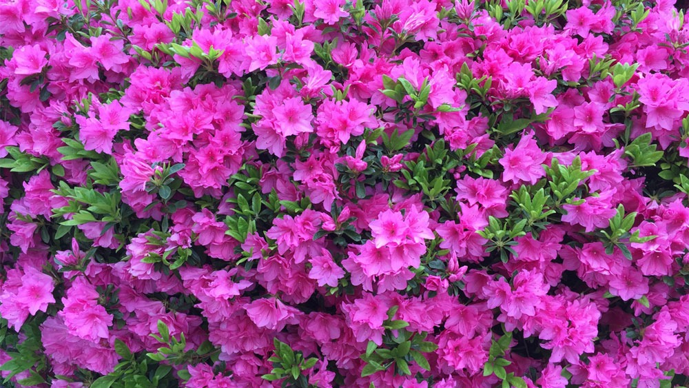 گل Azalea یا آزالیا