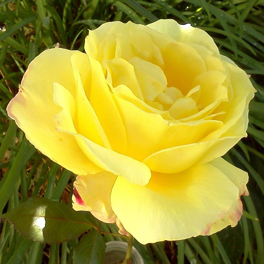گل ضد آفتاب یا Sunsprite