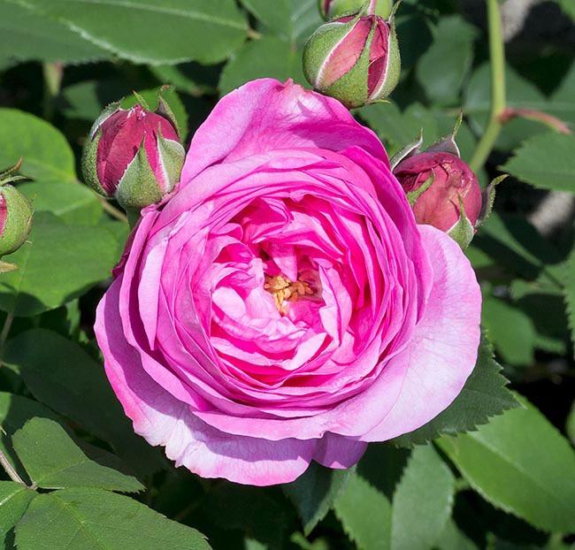 گل رز Louise Odier