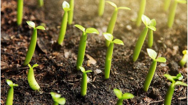 آموزش پرورش گل رز با استفاده از دانه ها