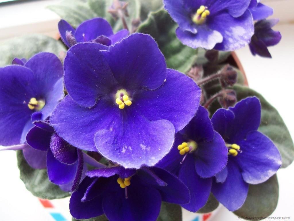 گل Saintpaulia