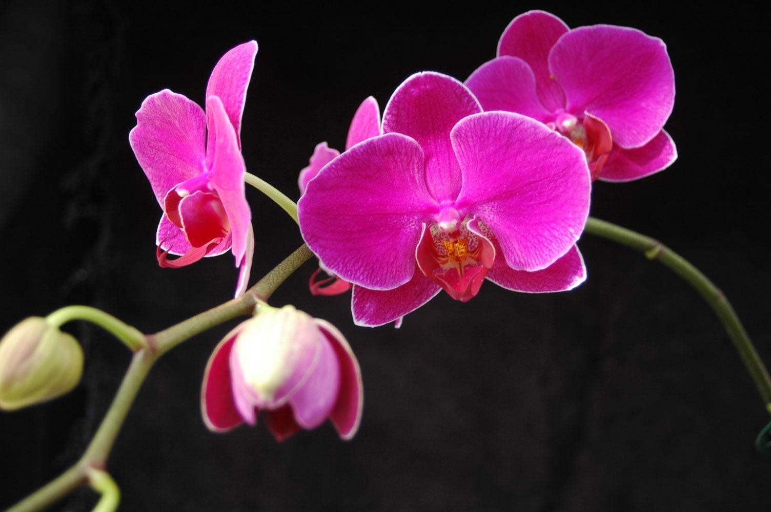 گل فالانوپسیس Phalaenopsis