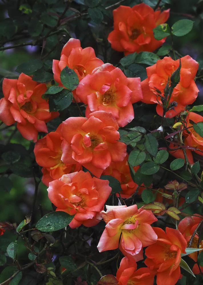 گل رز بالارونده Eden