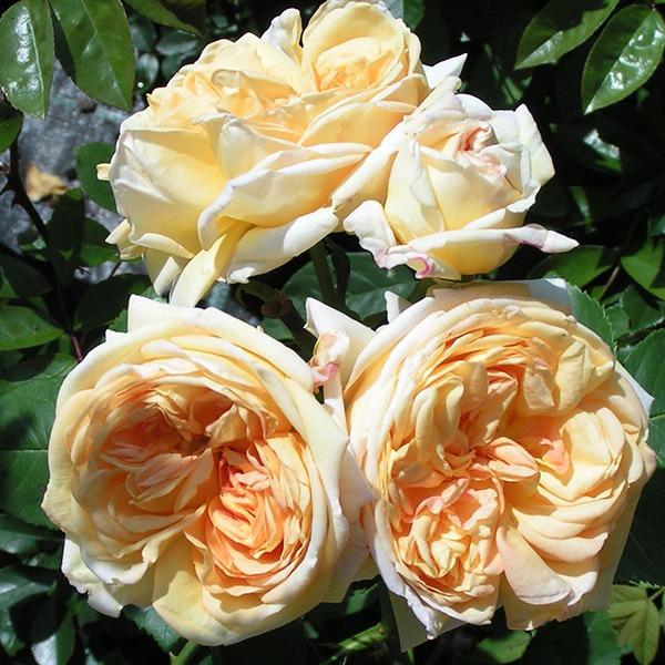 معرفی 9 گل رز بالارونده با رایحه بی نظیر