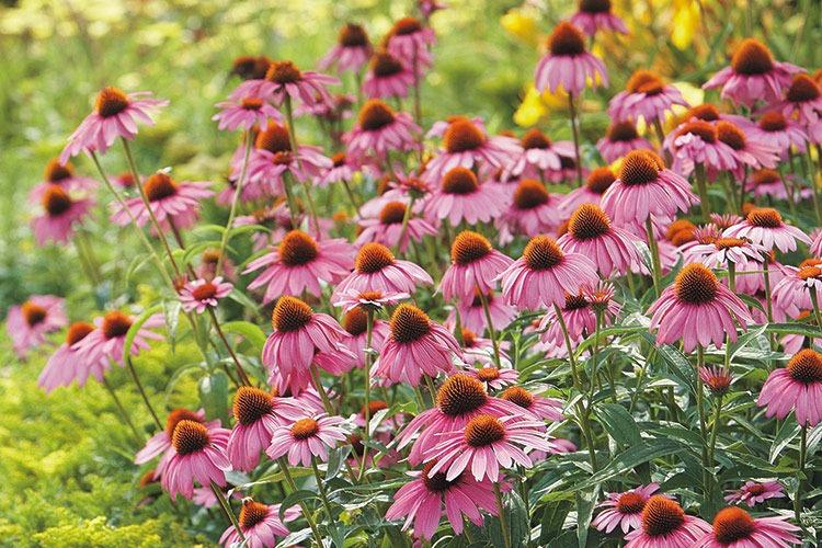 زمان کاشت گل کلم Cone flowers