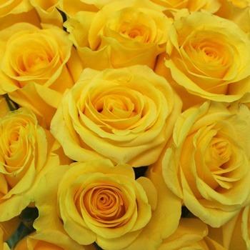معنی گل رز زرد