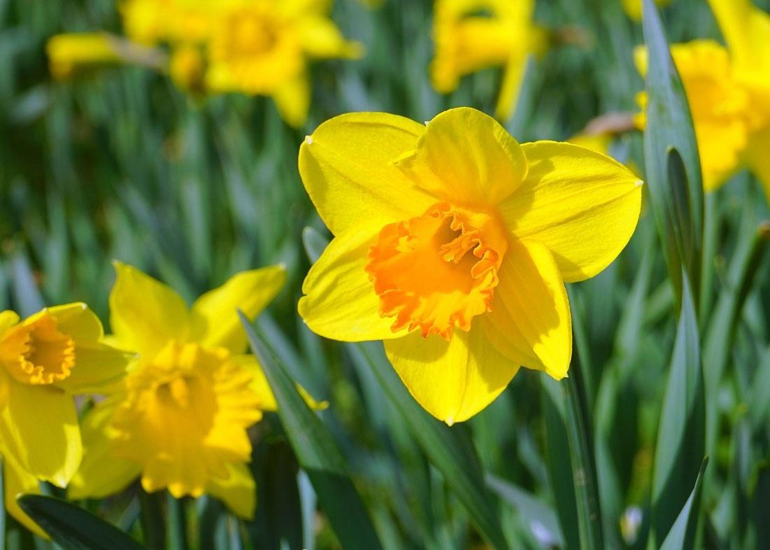 گل نرگس به خارجی Daffodils
