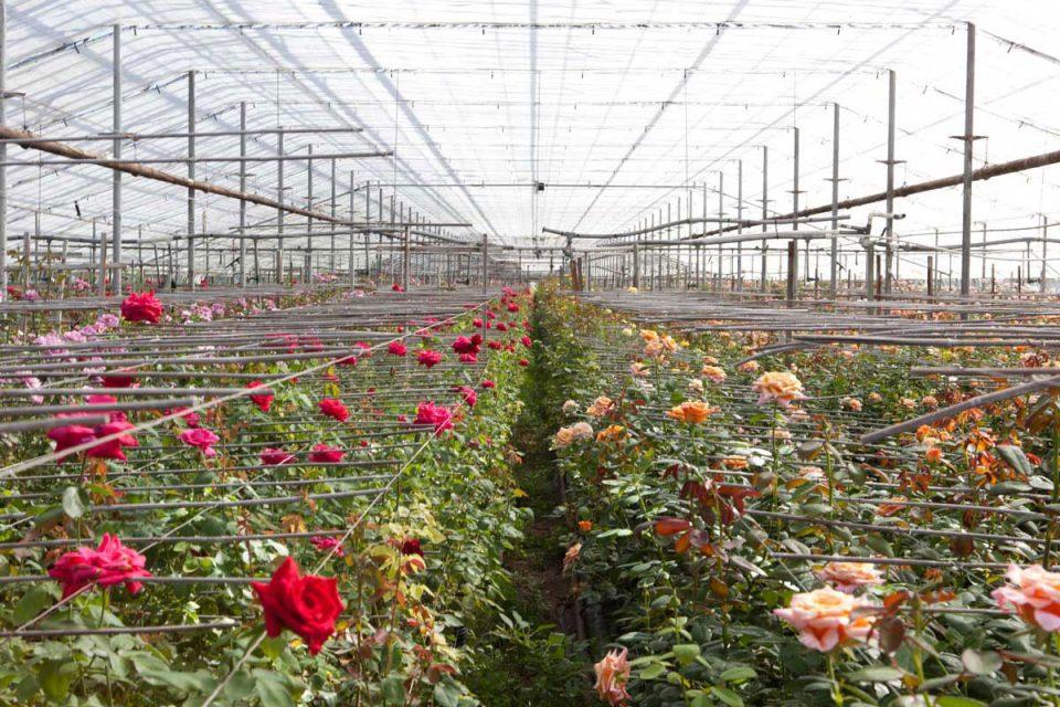 نکاتی در مورد گل رز هلندی