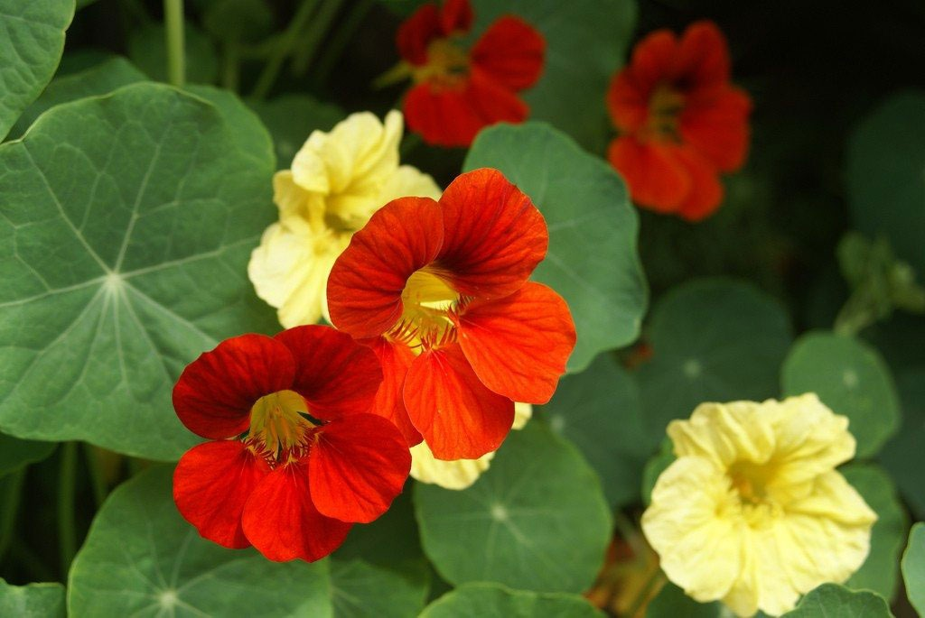 گل لادن Nasturtium
