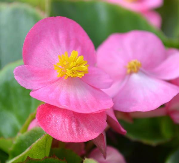 کاشت گل بگونیا به انگلیسی begonias