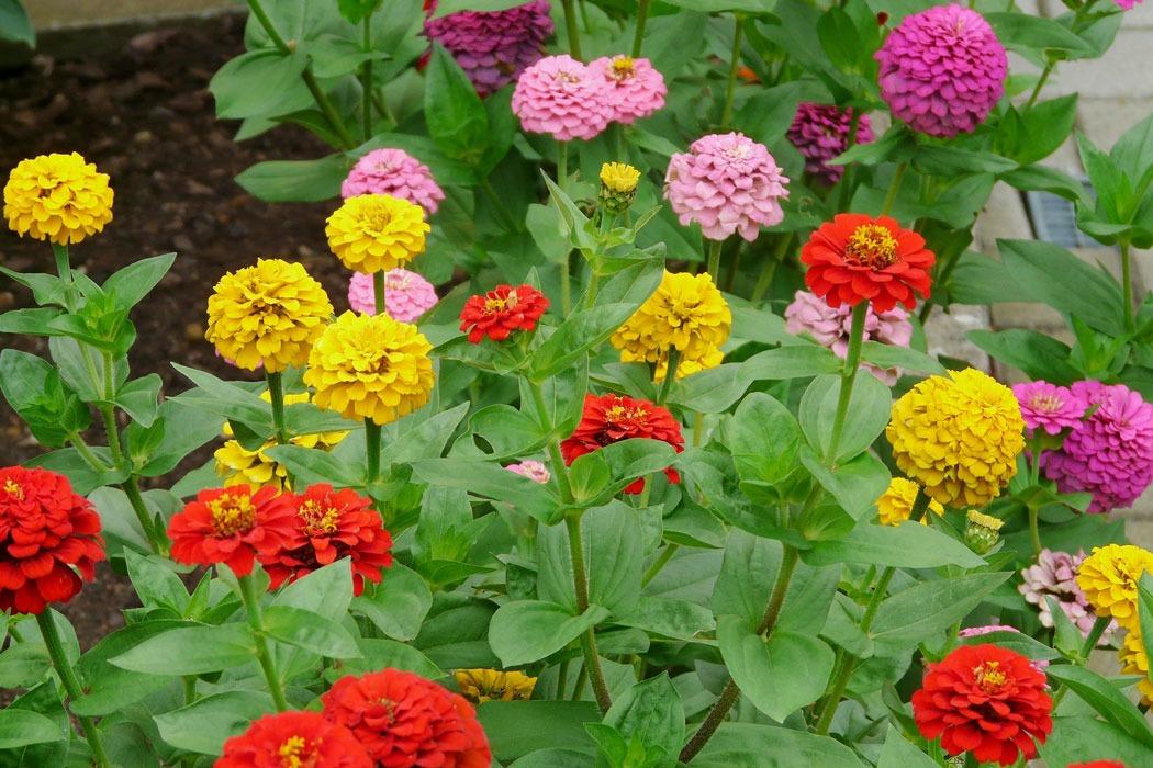 گل آهاری به انگلیسی Zinnias