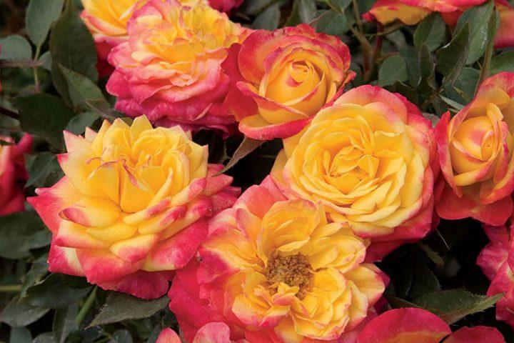 کاشت و نگهداری انواع گل رز