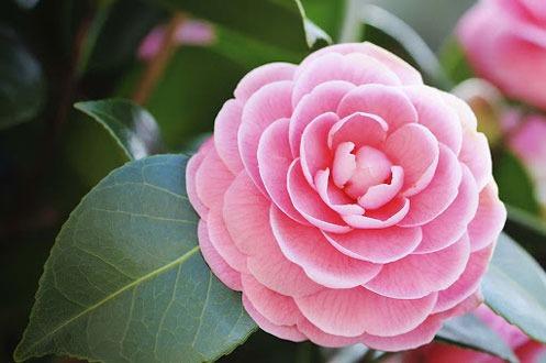 کاشت پرورش و نگهداری گل کاملیا