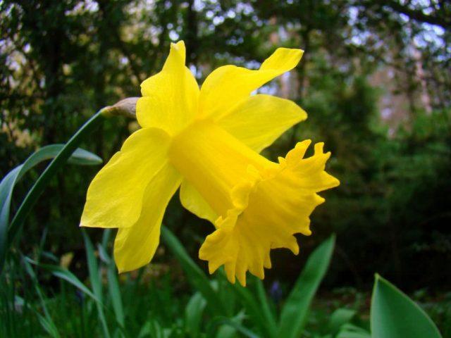 شرایط کاشت و نگهداری گل نرگس
