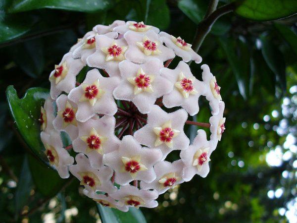 گل مومی | گل پیچ شمعی