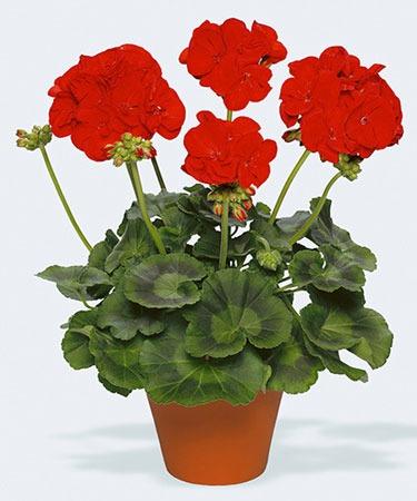 روش پرورش و نگهداری گل شمعدانی در گلدان
