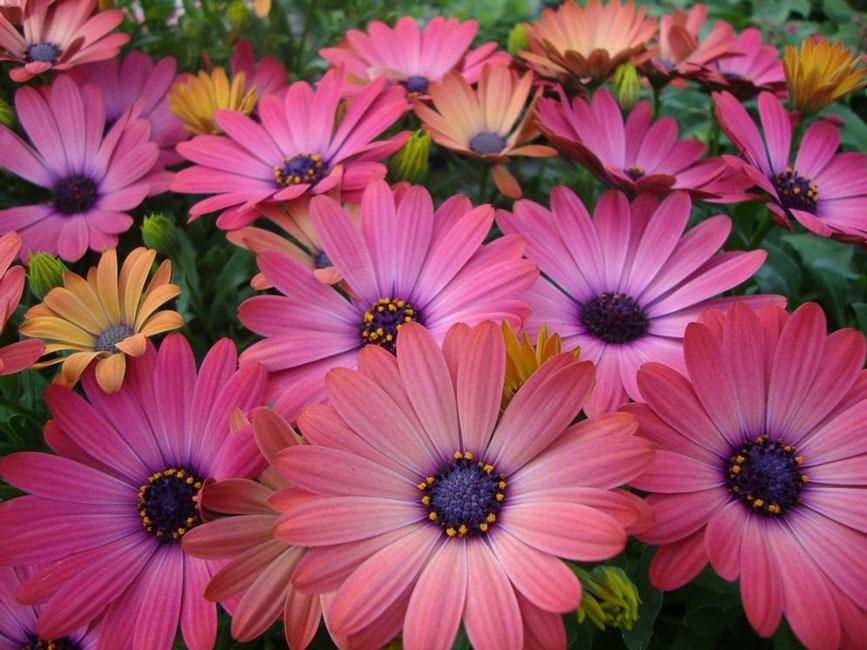 مشخصات گل ژربرا