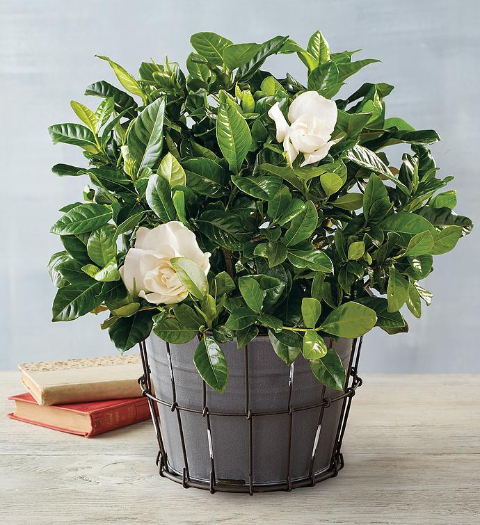 گل گاردنیا