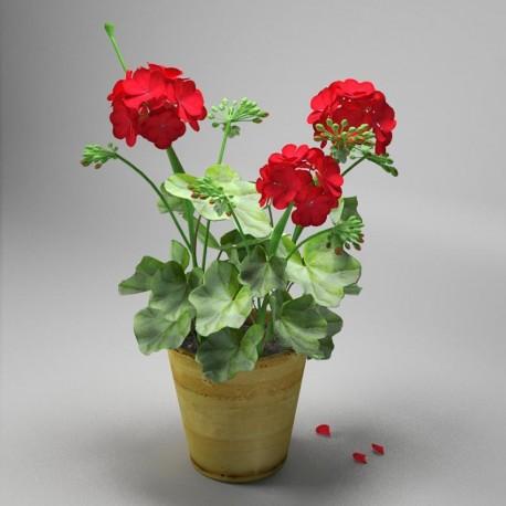 پرورش و کاشت گل شمعدانی
