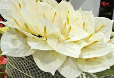گل آنتوریوم سفید