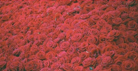 فصل مناسب کاشت گل رز هلندی