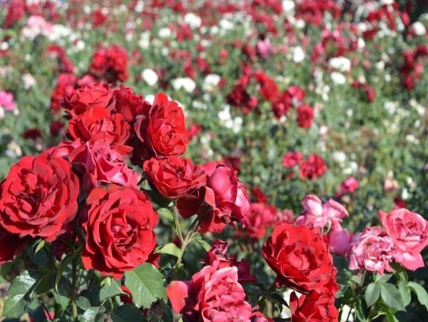 پرورش و نگهداری از گل رز Grandiflora