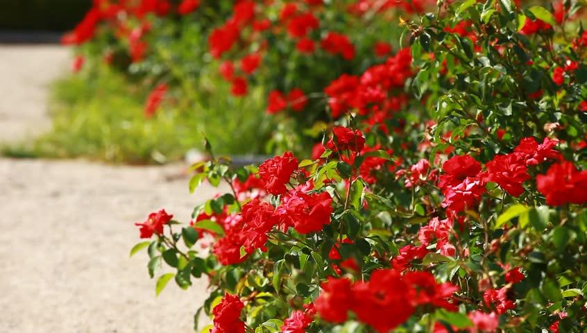 گل رز دارسی (Darsy)