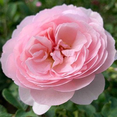 کاشت و نگهداری گل رز انگلیسی یا دیوید آستین