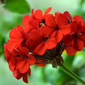 کاشت و نگهداری گل شمعدانی