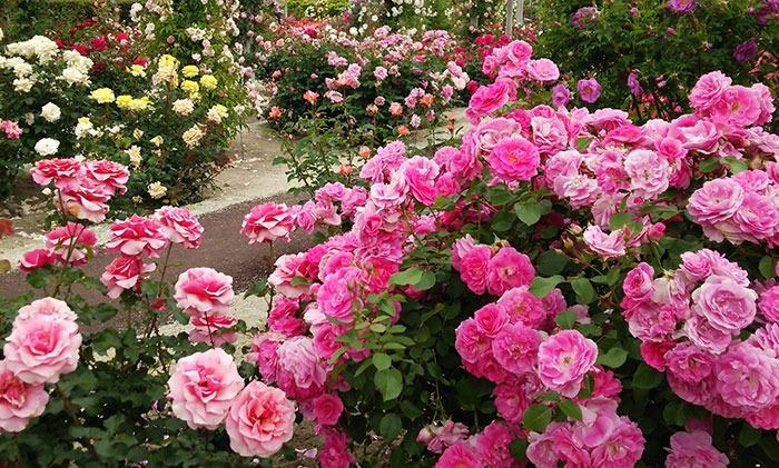 انواع گل رز Grandiflora