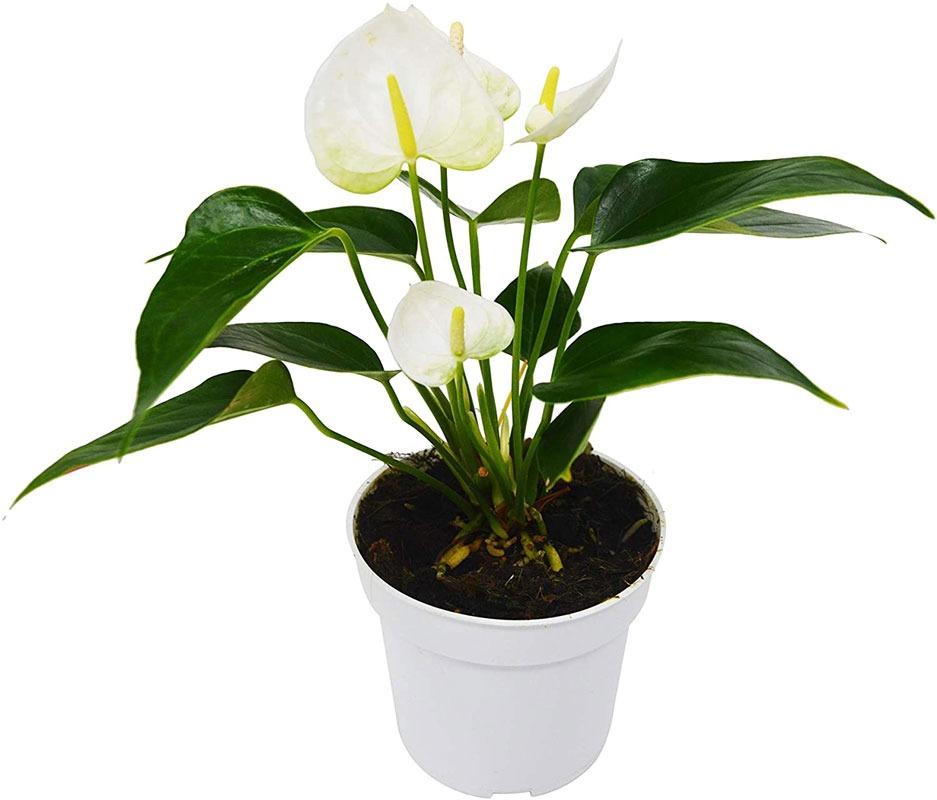 نور مناسب برای گل آنتوریوم
