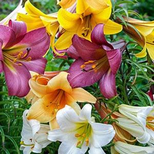 terumpet lilies