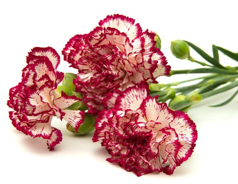 گل میخک و گل حاشیه ای