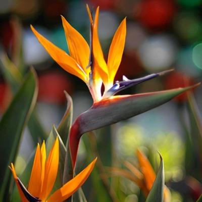 گل استرزیا